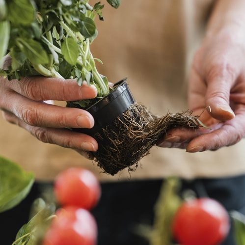 Root Rot Signs and Symptoms - treating root rot