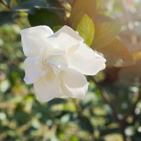gardenia houseplants