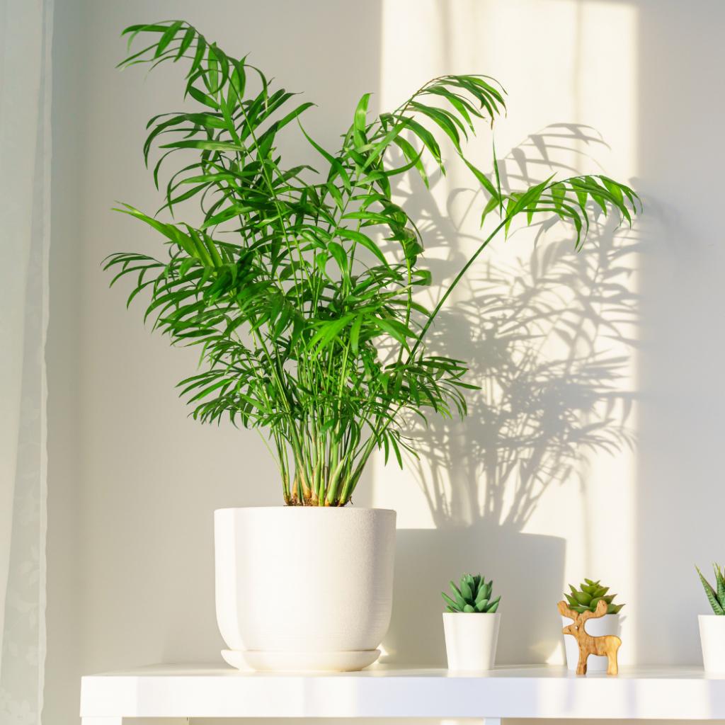 Cascade Palm (Chamaedorea cataractarum)