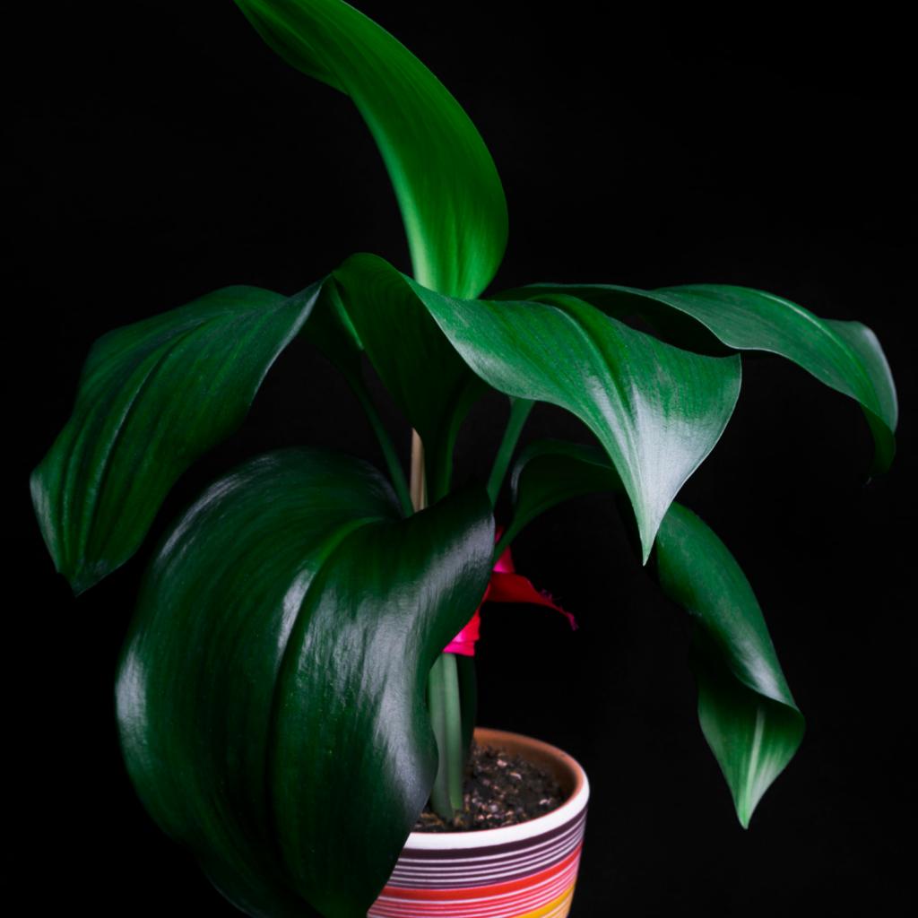 2. Cast Iron Plant (Aspidistra Elatior)