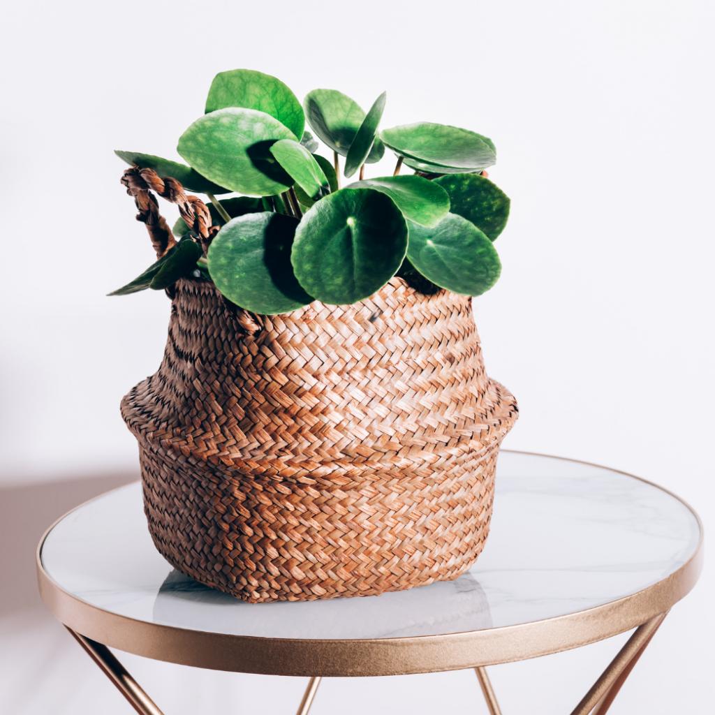 4. Chinese Money indoor Plants (Pilea Peperomioides)