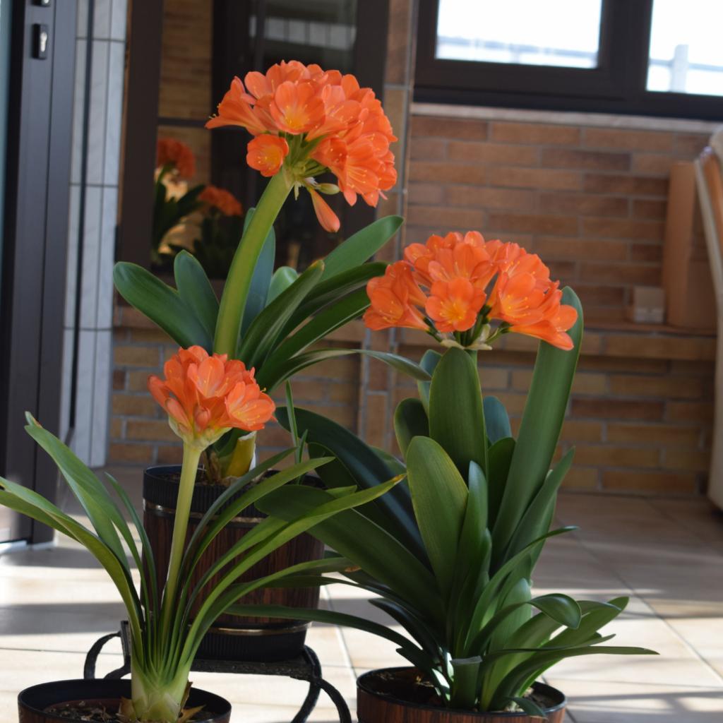Clivia  Flowering Indoor Plants