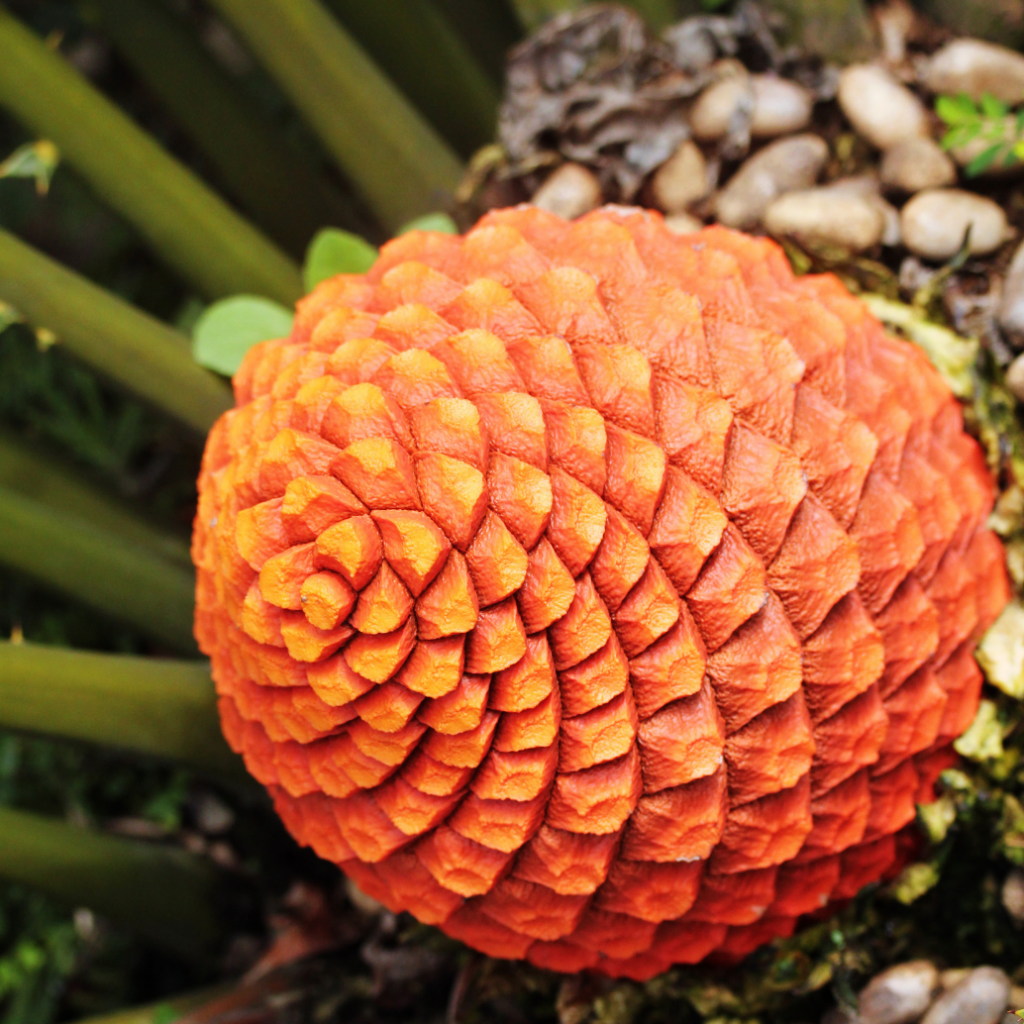 13. Encephalartos Ferox (Coffee Tree Palm)