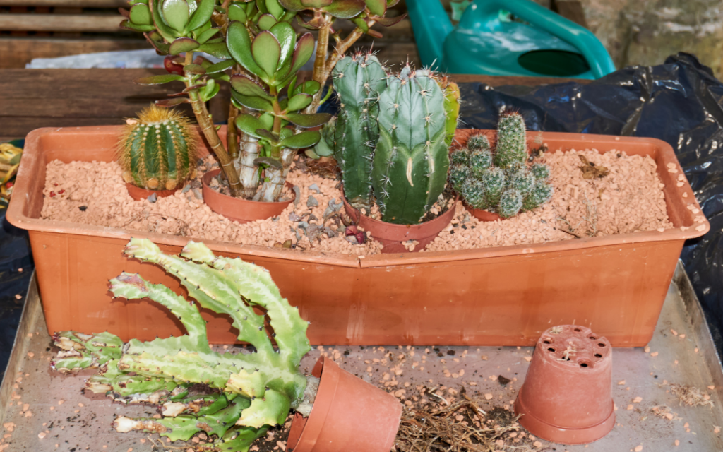 How to Grow Cactus Plants Indoors - Planting and Repotting