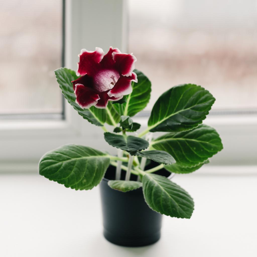 Gloxinia Flowering Indoor Plants