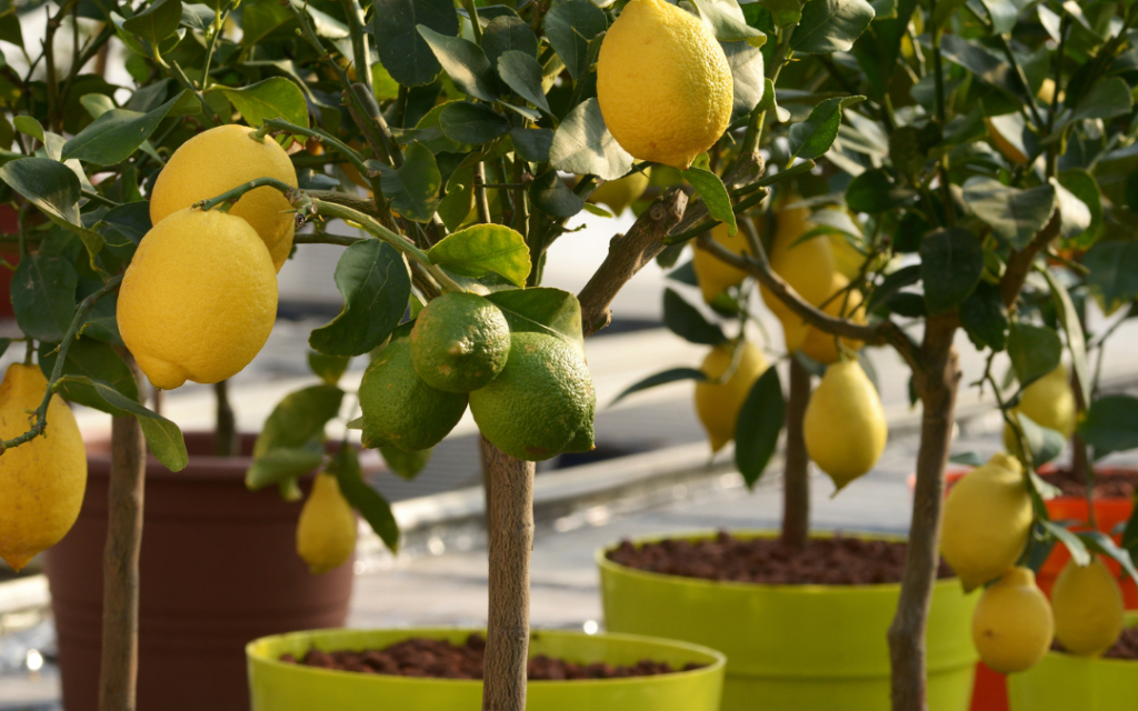 How To Plant Your Indoor Lemon Tree