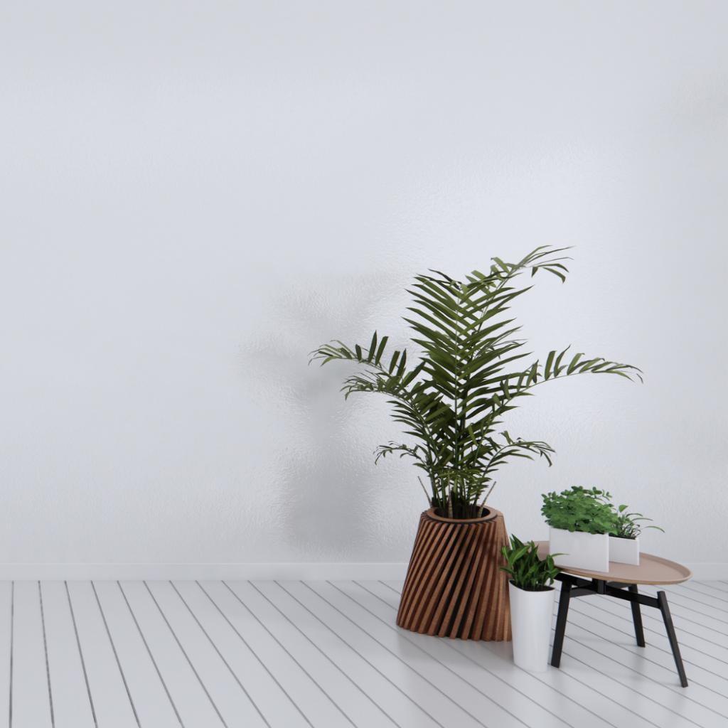 Kentia Palm (Howea forsteriana)