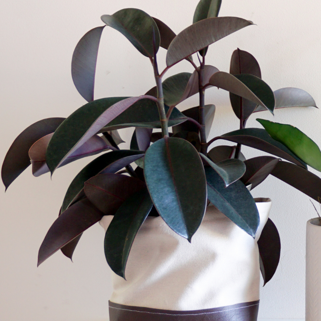 3. Royal Queen Philodendron