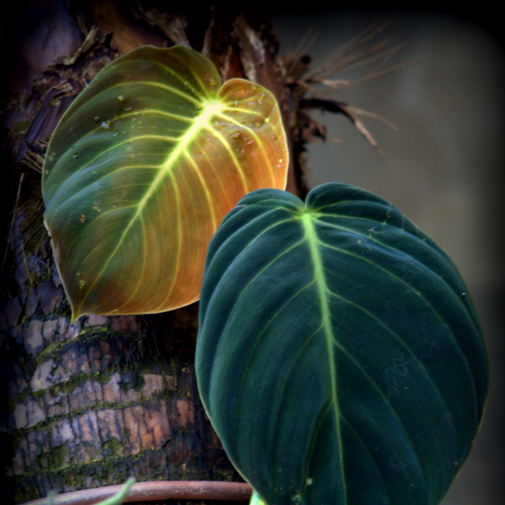 2. Prince of Orange Philodendron