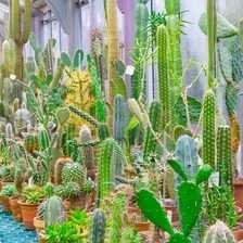 Carnegiea gigantea (Saguaro Cactus)
