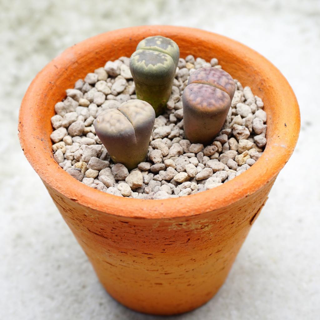 12. Pachycereus Pecten-Aquae (Stone Cactus)