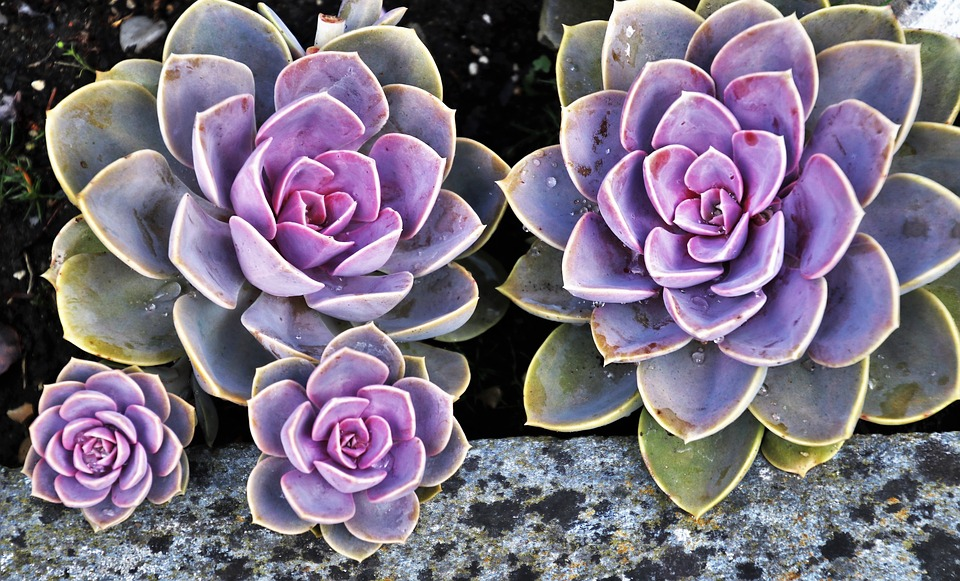 How do Succulents get their Colors?
