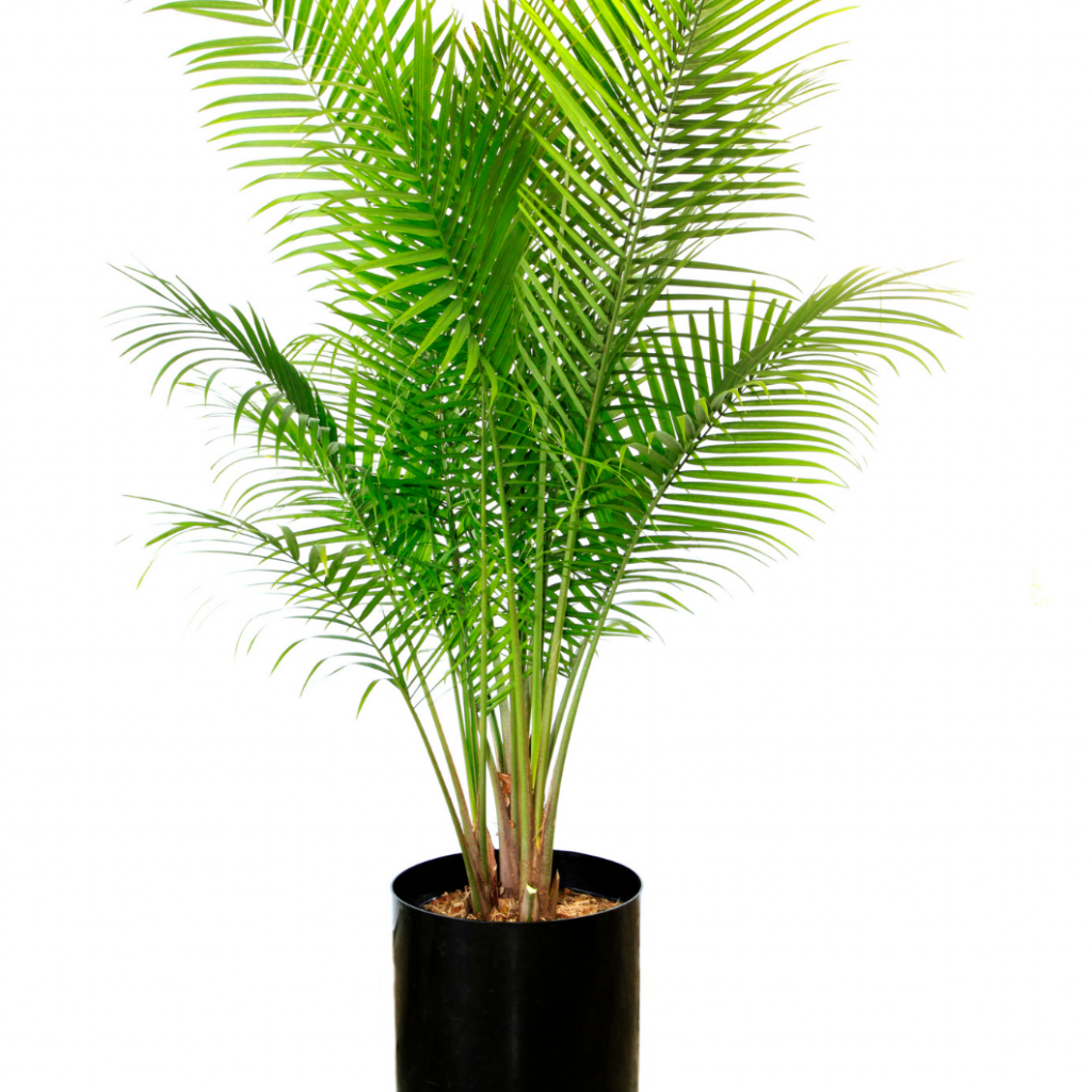 Majestic Palm (Ravenea rivularis)