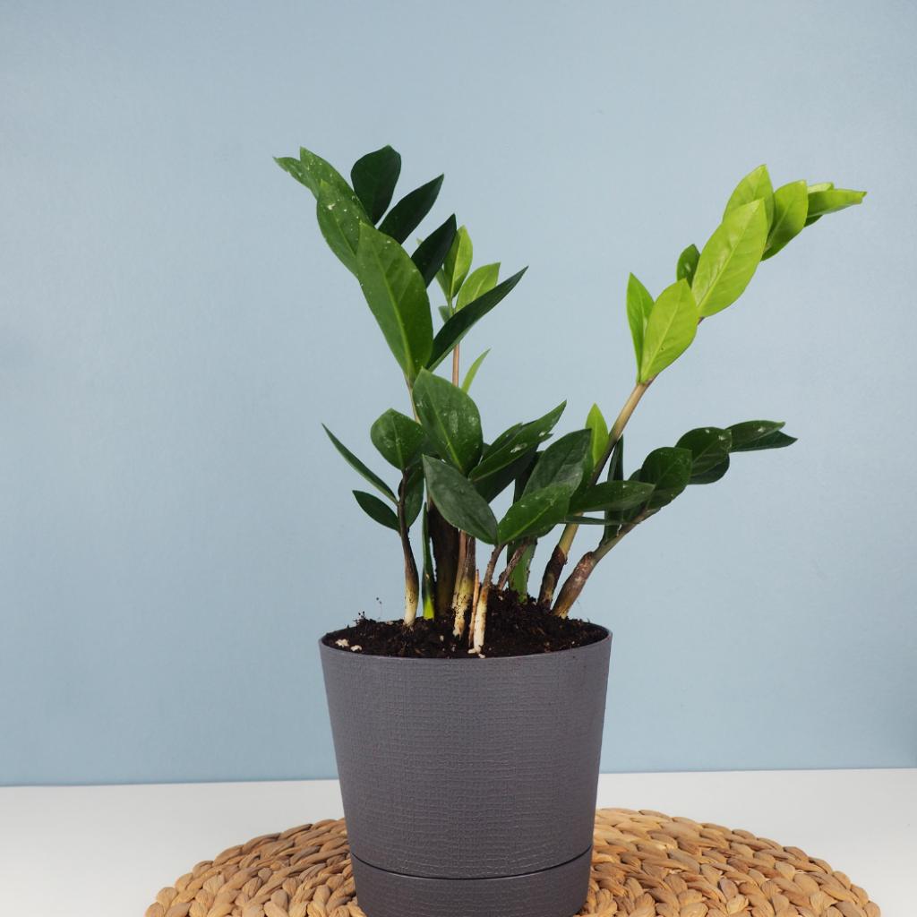 3. The ZZ indoor Plant (Zamioculcas Zamifolia)