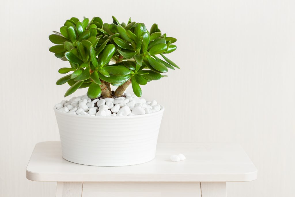 Jade Plant- Low-Maintenance Plants