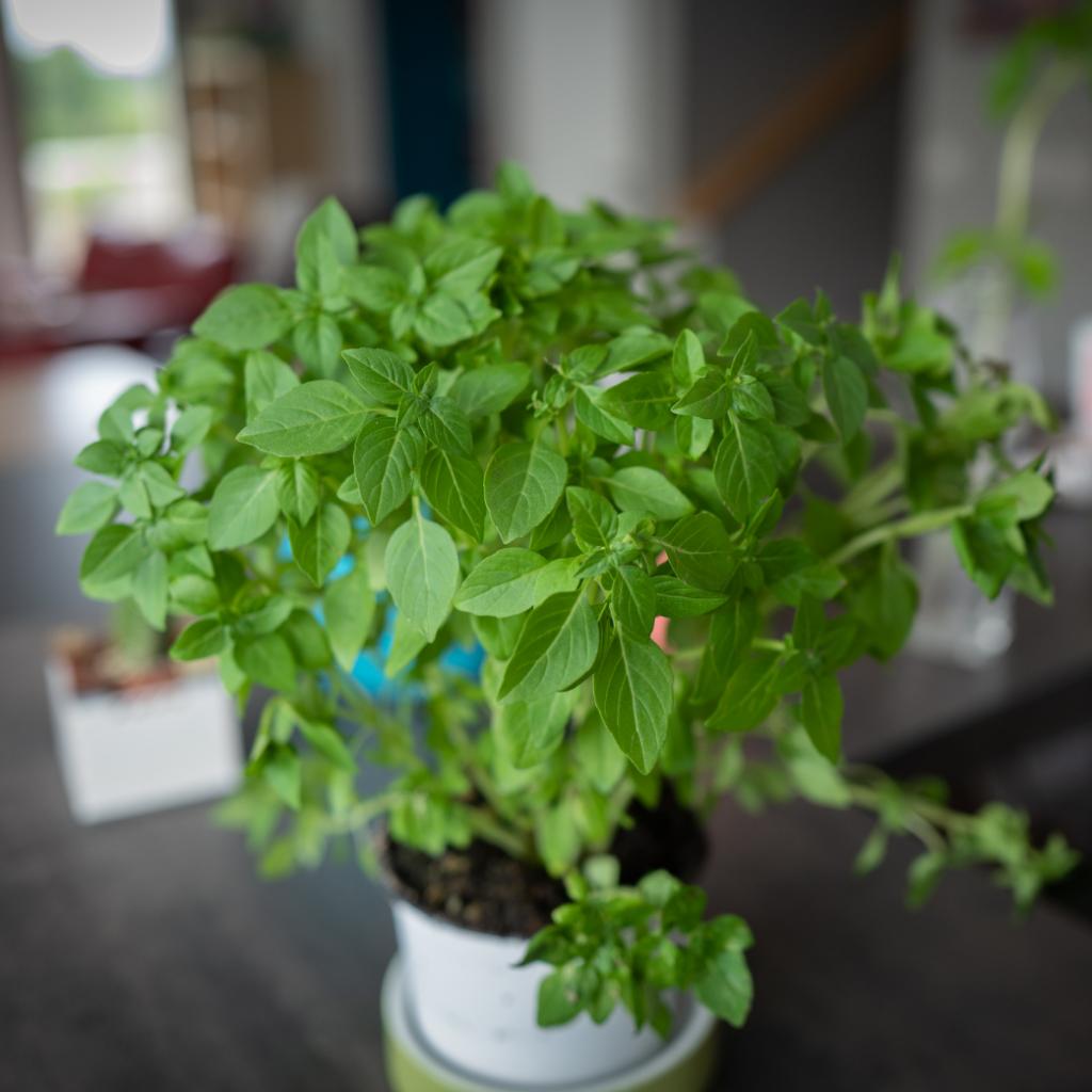 mint Hanging Herb Garden