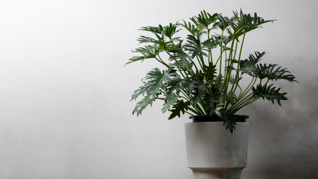 Benefits of Indoor Houseplants with Big Leaves