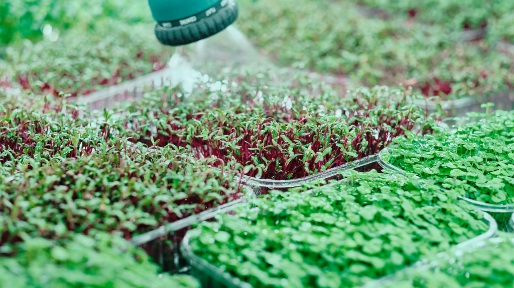 What Microgreens Can be Grown in an Indoor Garden?