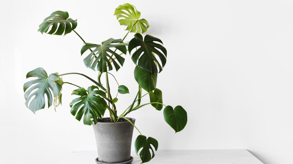 Keeping Big Indoor Plant Leaves Looking Their Best