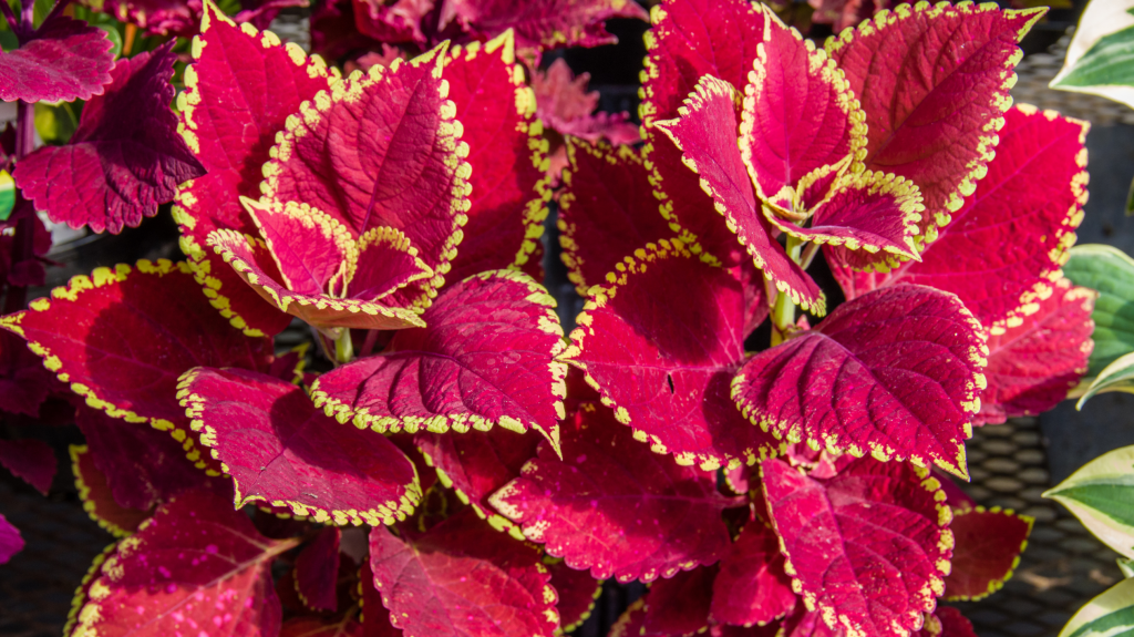 15 Houseplants with Colorful Leaves