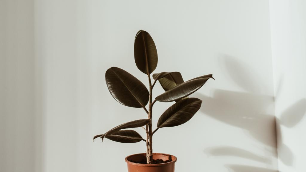 Common Indoor Ficus Plant Problems