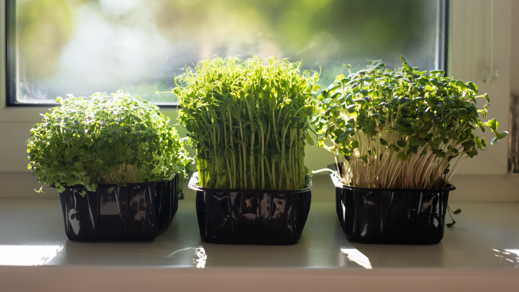 Why are Microgreens Healthy to Eat?