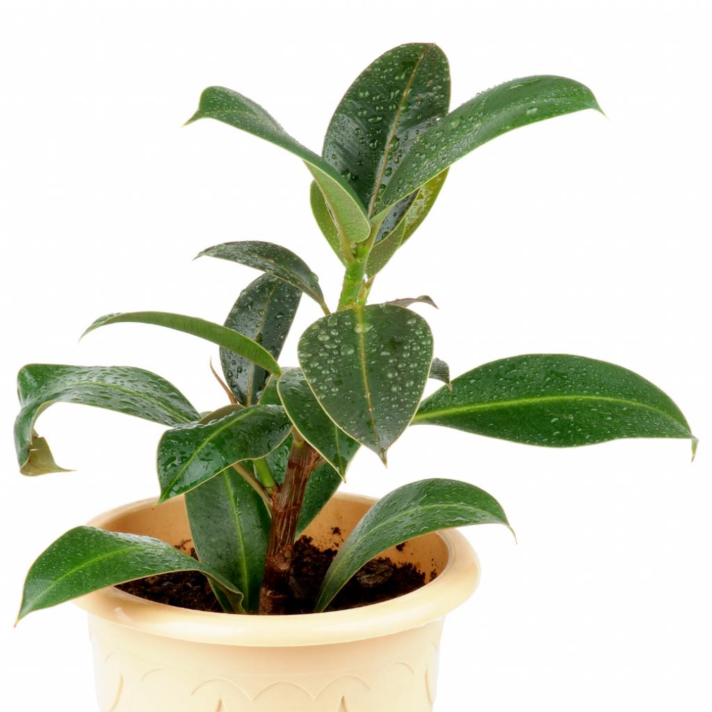 American Fig - Indoor Ficus plants