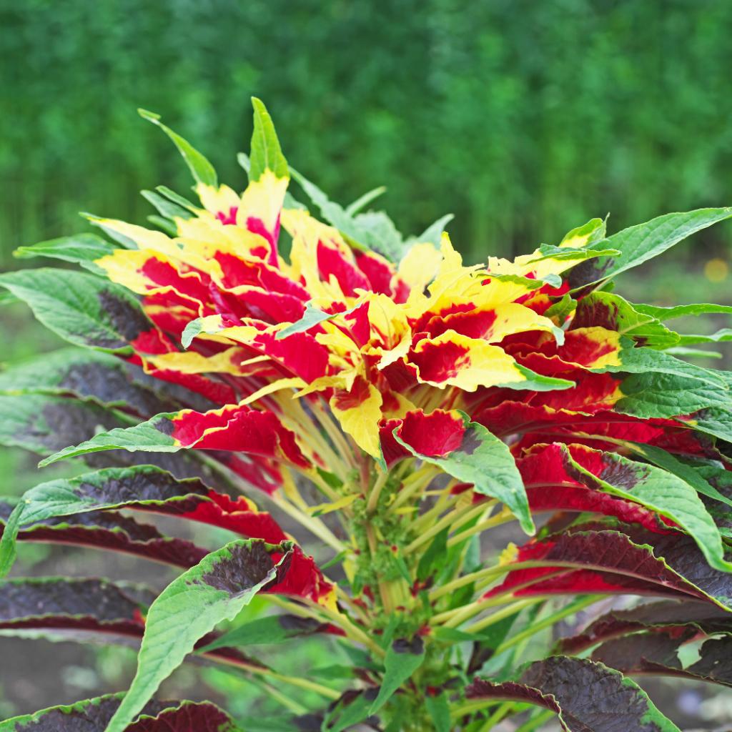Amaranthus Tricolor