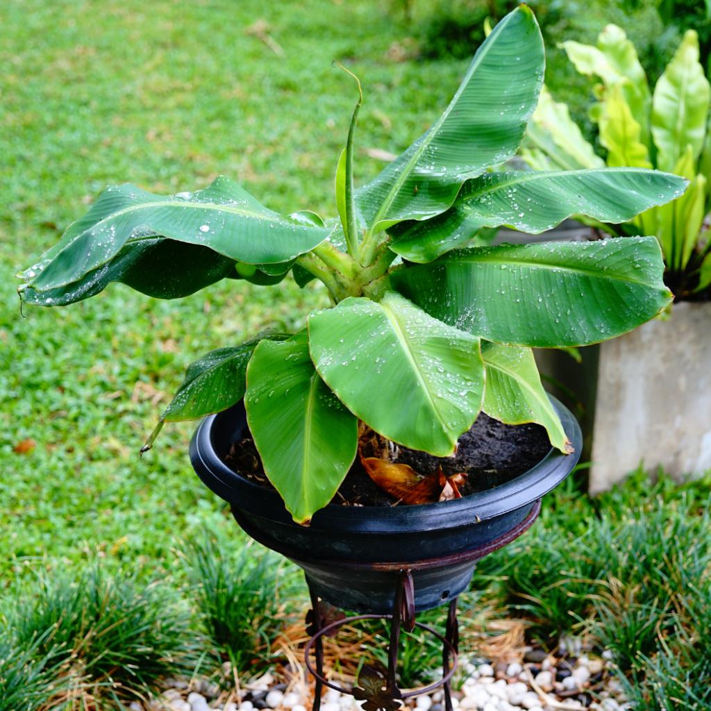 Banana Tree Plant