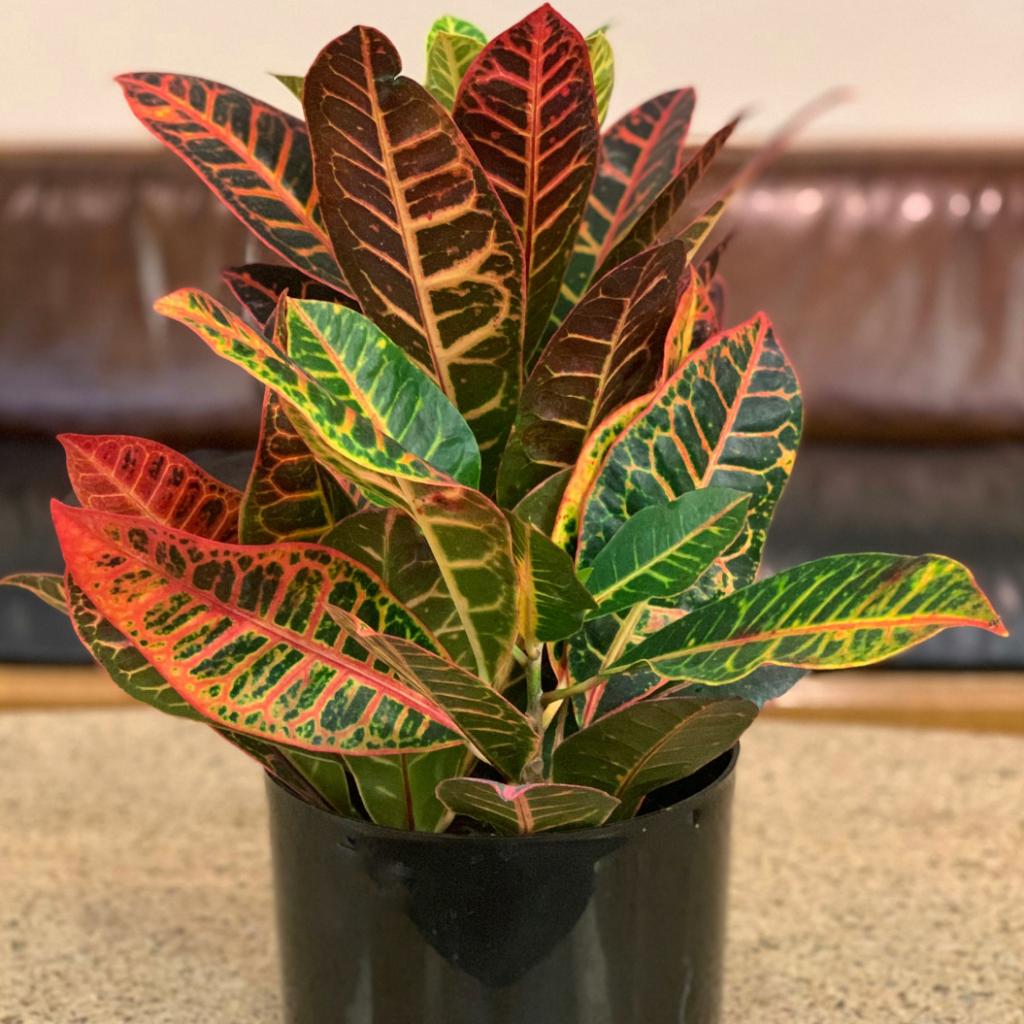 Croton Plant big leaves