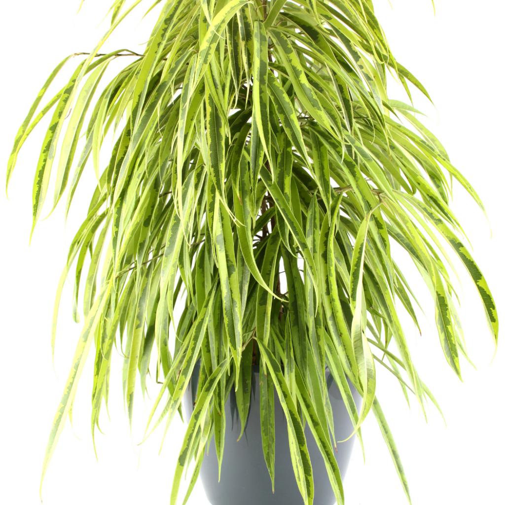 Ficus Alii Plant