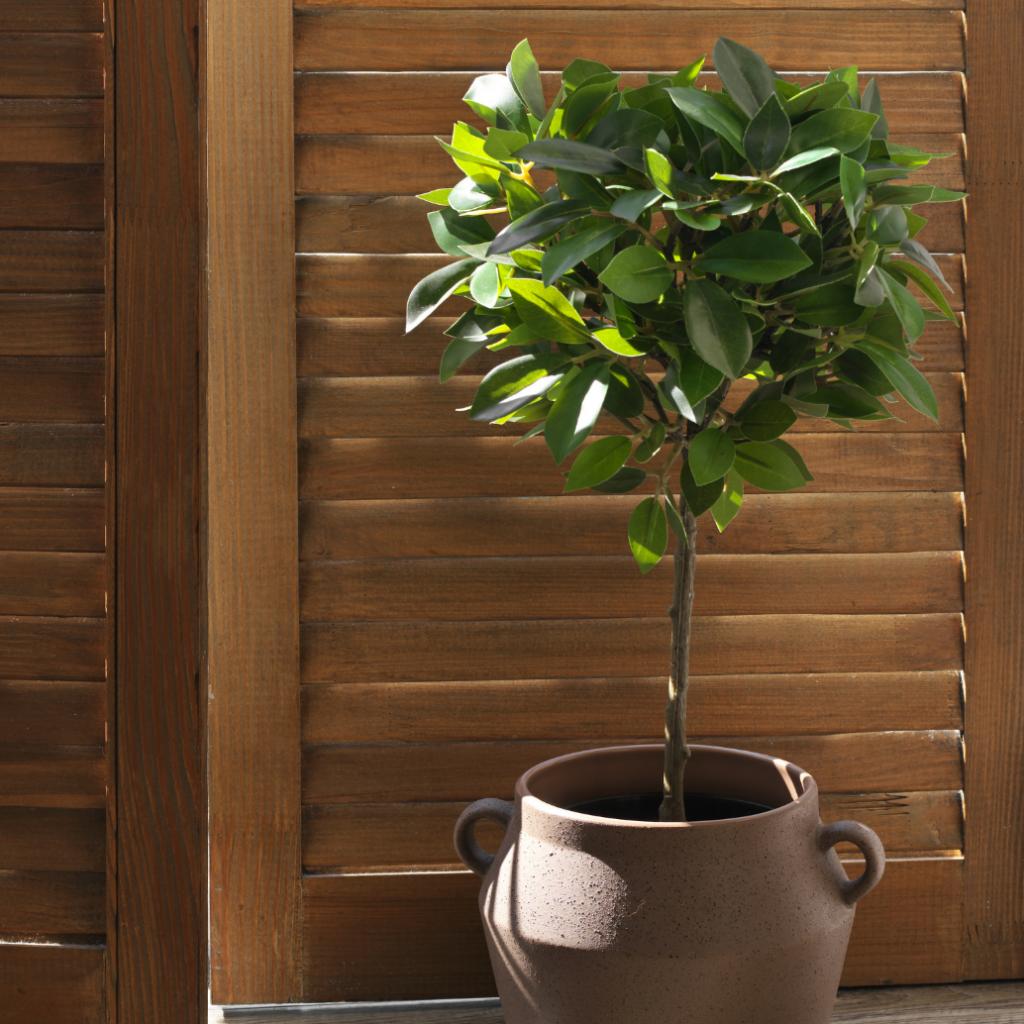 ficus audrey - indoor ficus plants