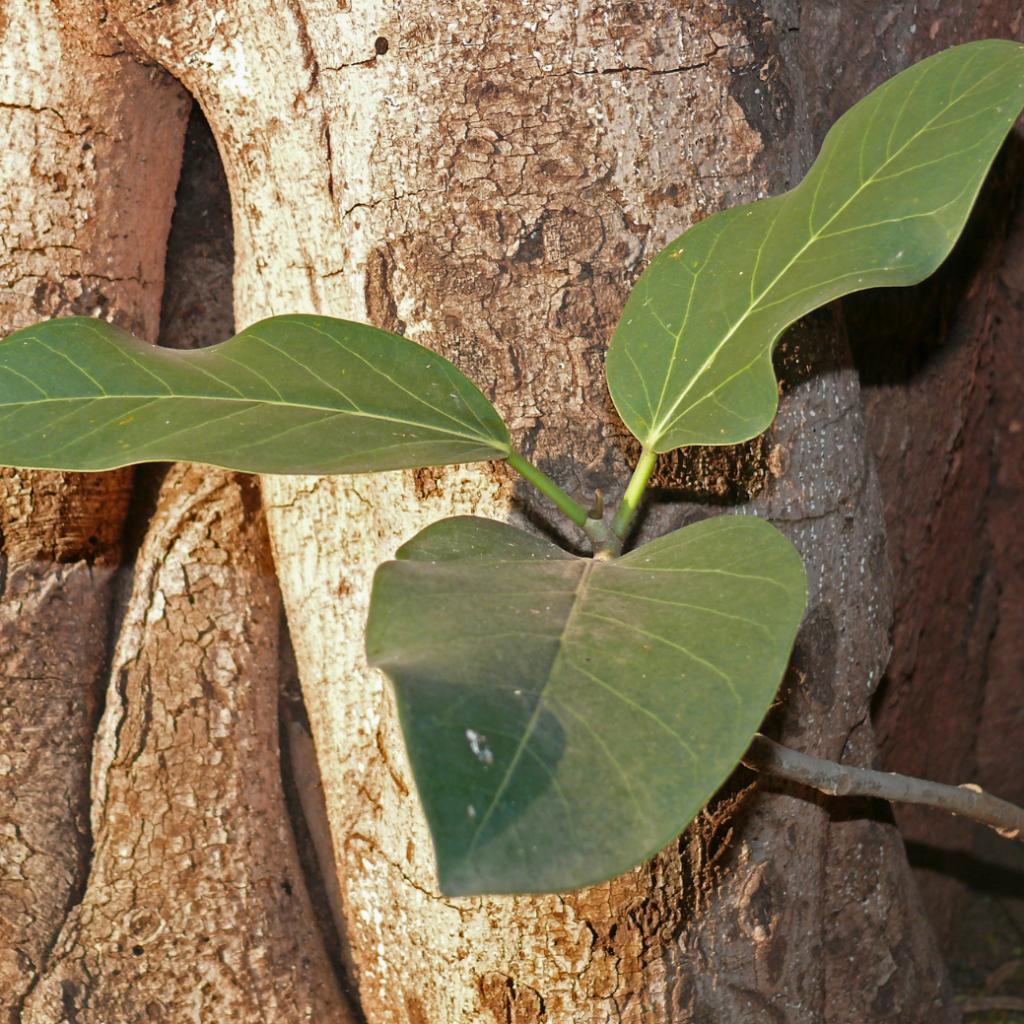 Bengal Fig - Indoor ficus plants