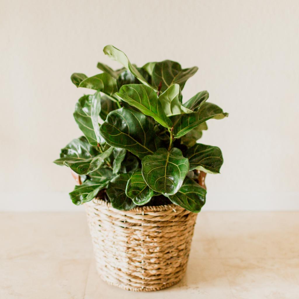 Popular Indoor Ficus Plant Varieties