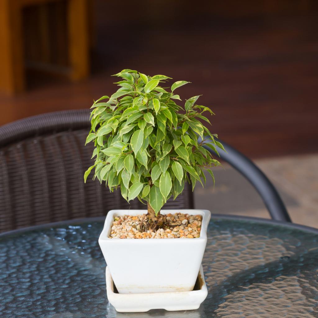 weeping fig - indoor ficus plants