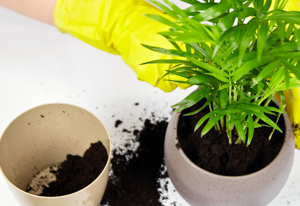 Repotting the Bamboo Palm Houseplant
