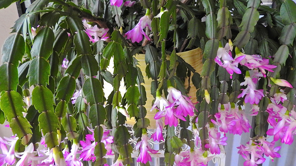 How To Care for A Holiday Cactus