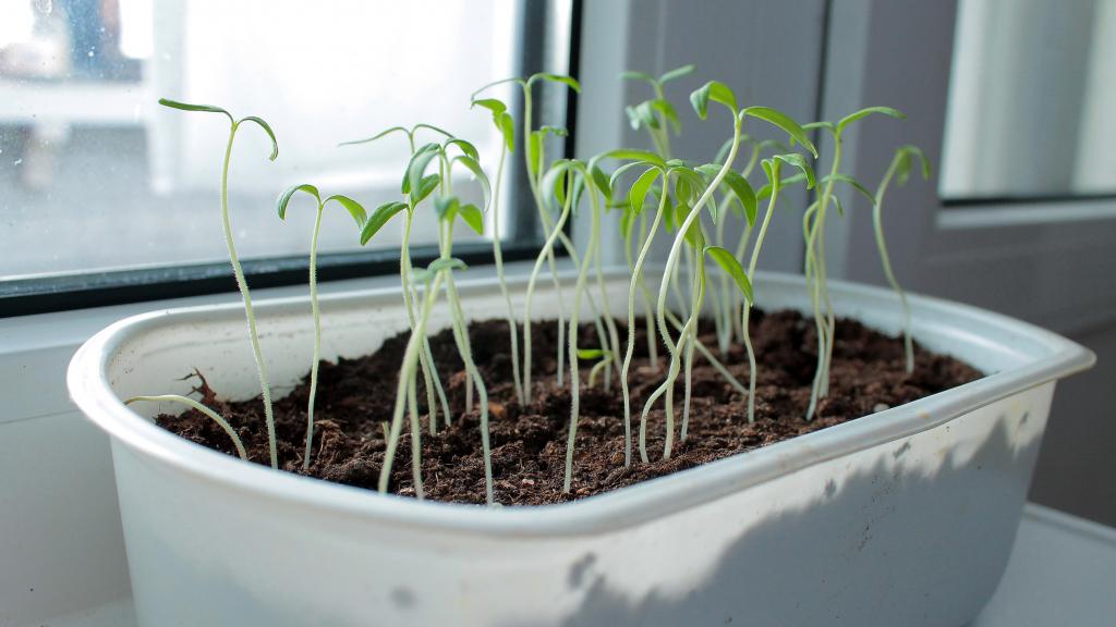 Leggy Indoor Plants and How They Happen
