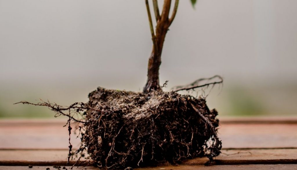 How To Keep Aerial Roots from Growing Up Unwanted Surface?