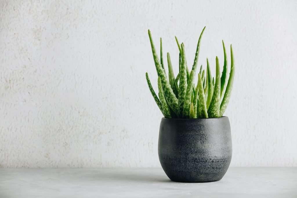 Aloe Vera Desert Plants