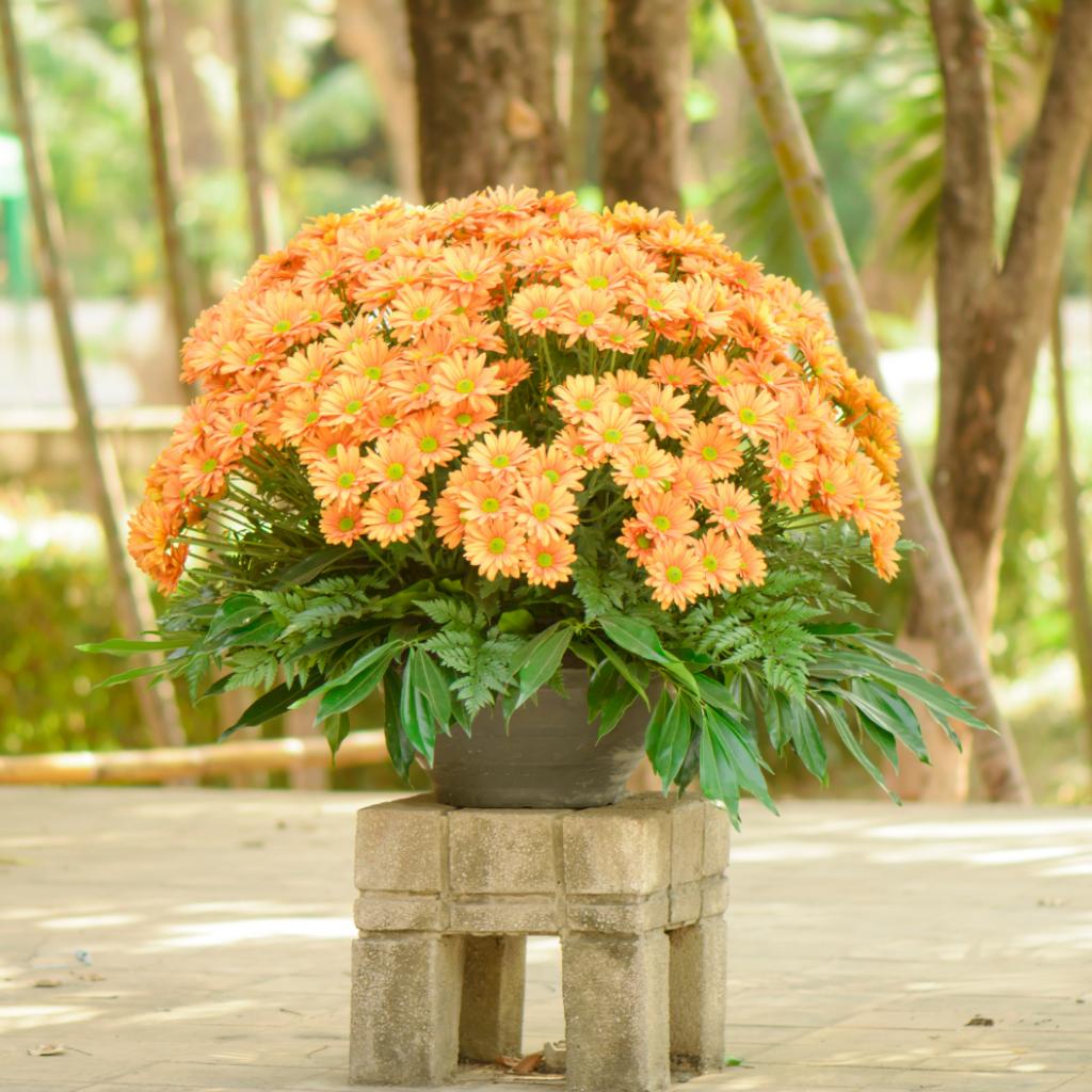 Chrysanthemum plant toxicity