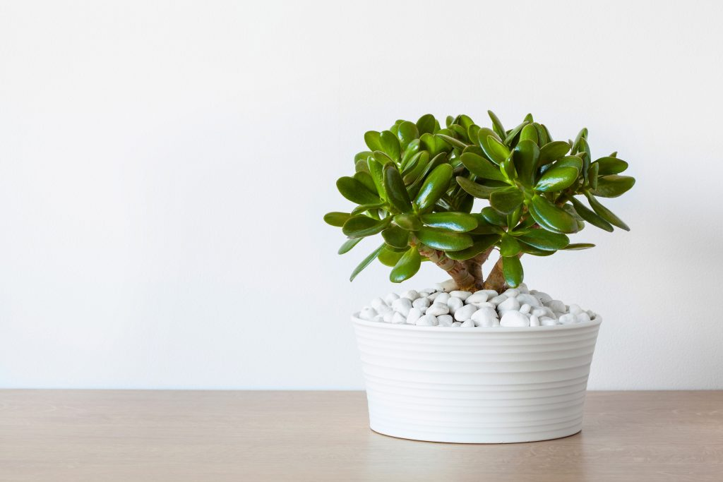 Jade Plant Desert Plants