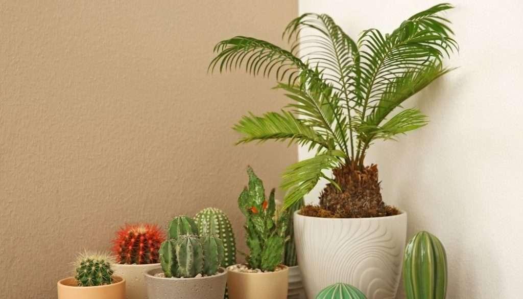Sago Palm Desert Plants