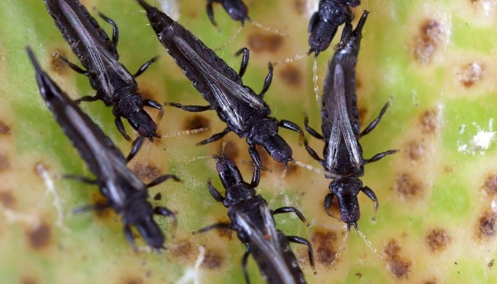 What Are Thrips