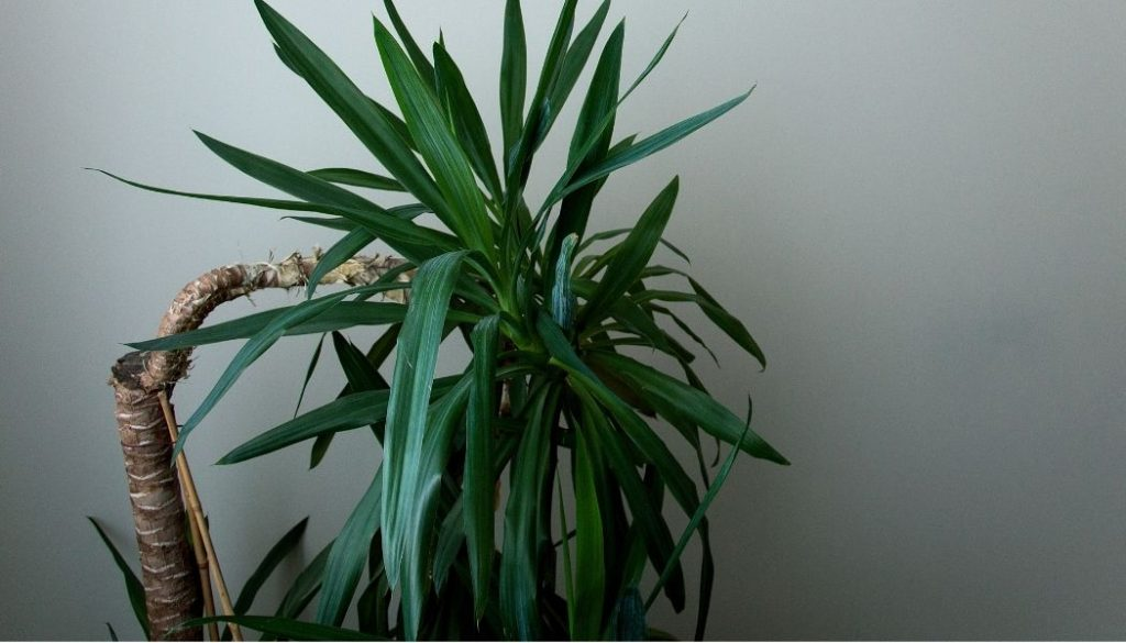 Yucca Cane Plant