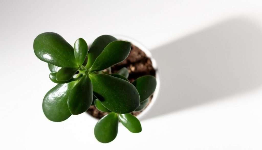 Jade Plant Indoor Succulents