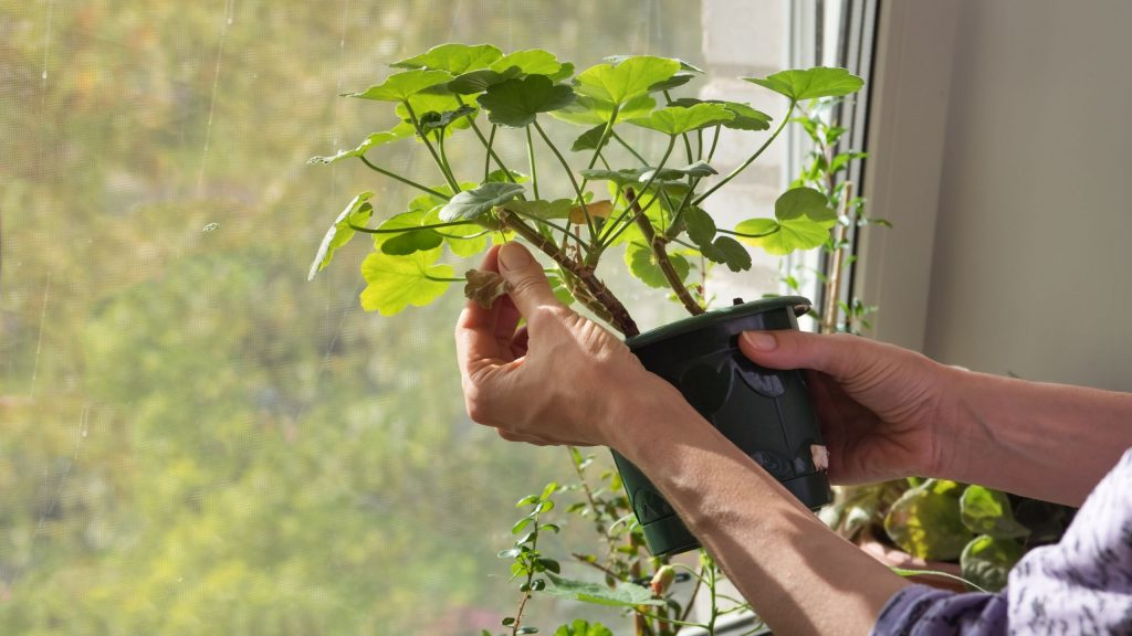 Routinely Remove Dead Leaves