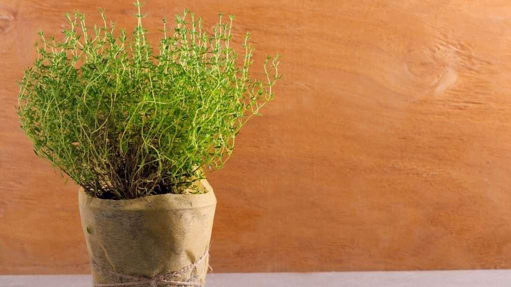 Thyme Grow Herbs Indoors